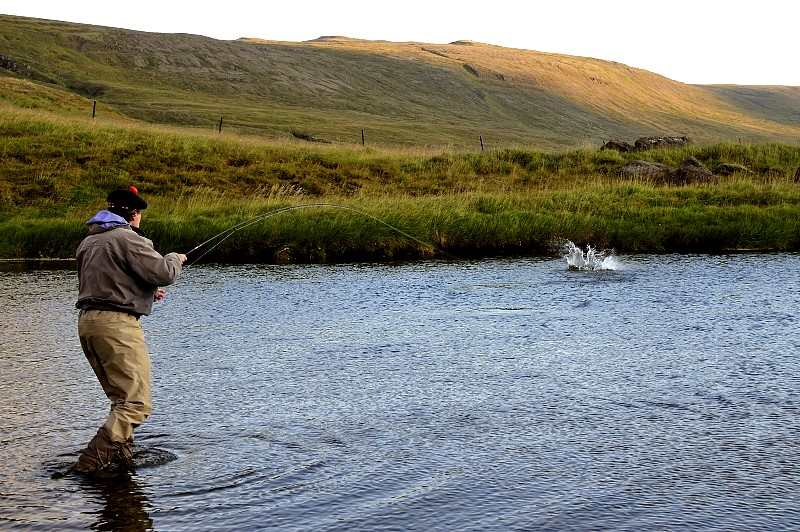 Into a salmon on the Upper middle river at Laxa in Dolum Iceland